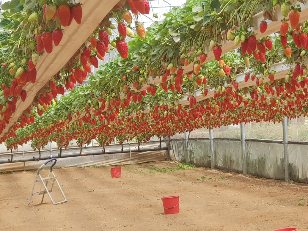 תותים-תוליים-משק-בגבעה